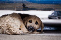 თემურ ფხალაძის ინფორმაციით, თბილისში დაახლოებით 25 ათასამდე მიუსაფარი ძაღლია.