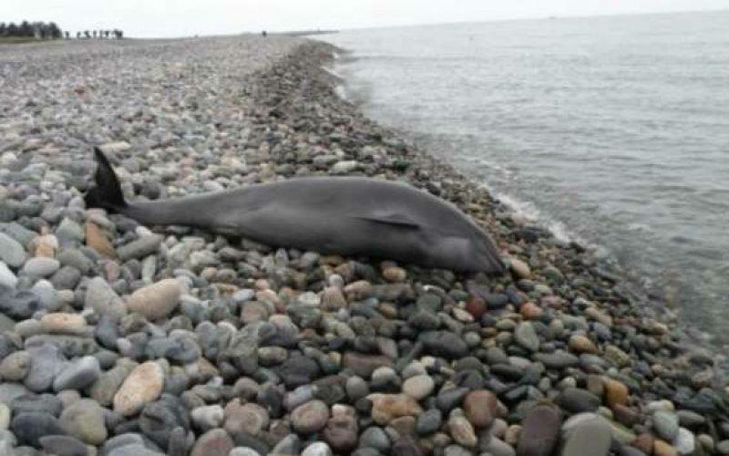 2018 წელს დელფინის გამორიყვის პირველი შემთხვევა დაფიქსირდა – ამის შესახებ ინფორმაციას გარემოს ეროვნული სააგენტო ავრცელებს.