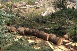 """""""სოფელ მუხათწყაროს მიმდებარედ, 110 ძირი ხის მოჭრა სისხლის სამართლის დანაშაულის ნიშნებს შეიცავს""""- მაია ბითაძე"""