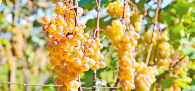 """""""კახეთის რეგიონში რთველის შედეგად ამ დროისთვის 60 ათას ტონაზე მეტი ყურძენია გადამუშავებული, მიღებულმა შემოსავალმა კი 110 მილიონ ლარს მიაღწია"""""""