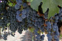 ბოლო 6 წელიწადში საქართველოში ღვინის ინდუსტრია გაძლიერდა და გაიზარდა ღვინის ექსპორტი