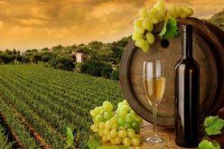 11 სექტემბრის მონაცემებით, კახეთში 42 ათასამდე ტონა ყურძენია გადამუშავებული