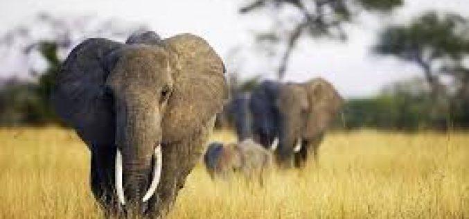 ზიმბაბვემ ჩინეთსა და დუბაიში სპილოების გაყიდვიდან, მიმდინარე წელს $2,7 მილიონი მიიღო.
